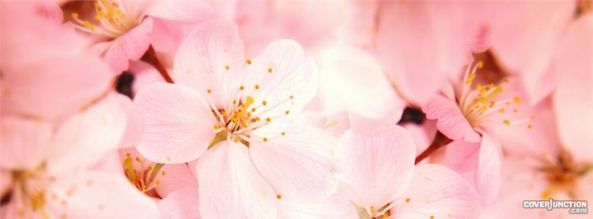 Cherry Blossoms Facebook Cover - CoverJunction