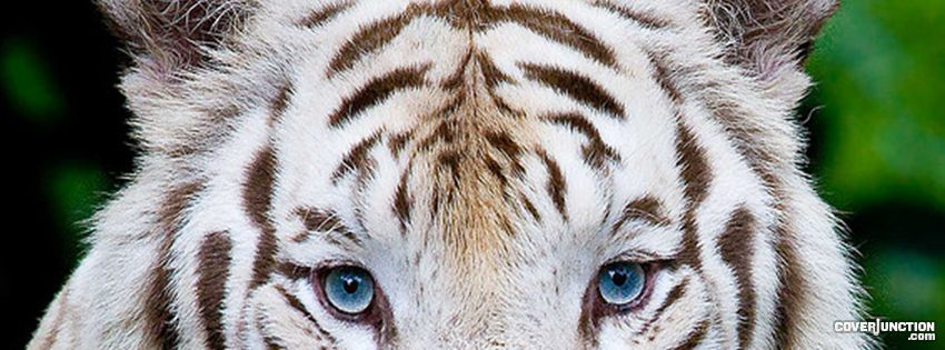 white tiger Facebook Cover