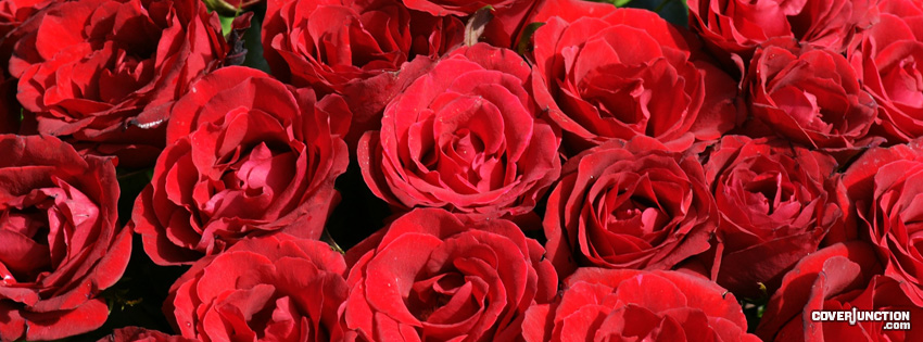 Red Roses Facebook Cover